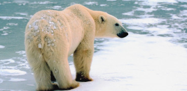 152 Polar Bear Thinkstock